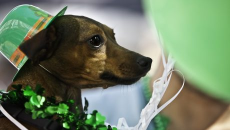 23 Dogs Ready For Saint Patrick's Day! [PICTURES]