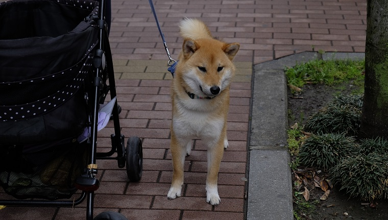 Shiba Inu Standing By Baby Stroller On Footpath