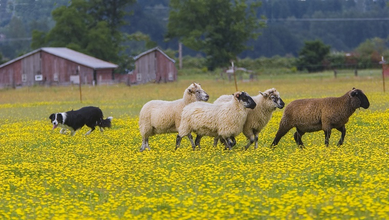 Border collie herding sheep in field of yellow Dandelions, red barn in backgrolund, near Scio, Oregon.