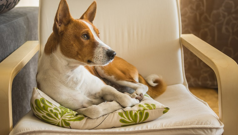 Indoor portrait of cute basenji dog having rest on its favorite place in the chair