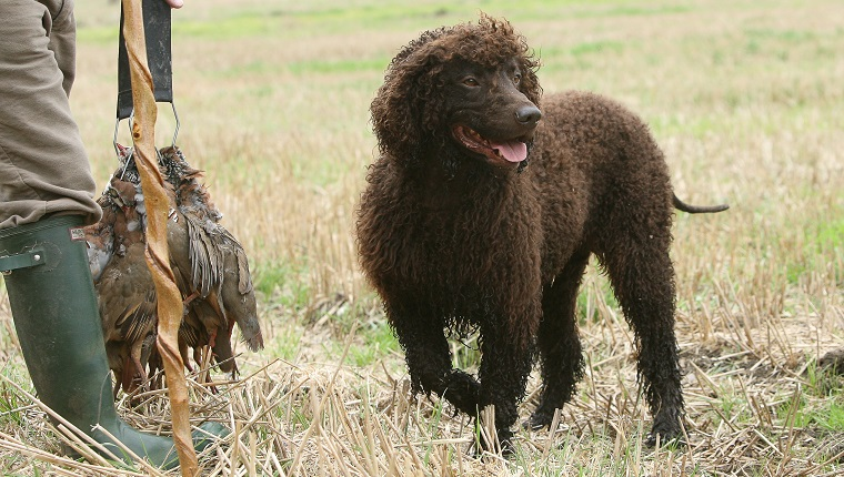 Irish Water Spaniel (Canis lupus familiaris) on shoot, UK