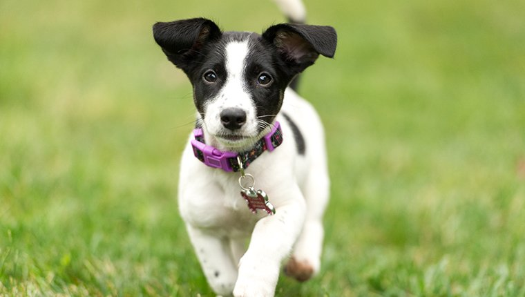 A 12-week Old Jack Russell Terrier Puppy running towards the camera.