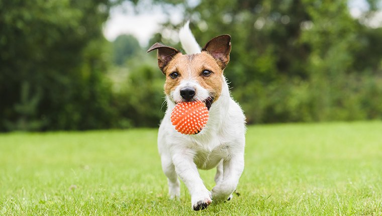 Jack Russell Terrier running with a ball