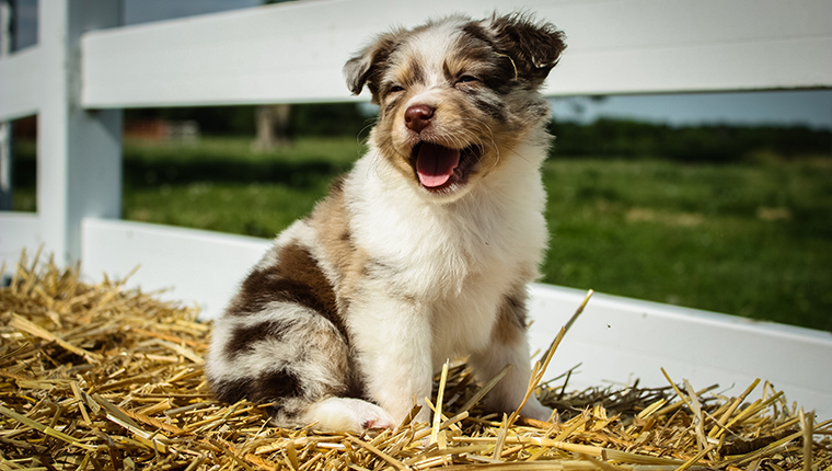 """Chase,"" a happy Miniature Australian Shepherd smiles for the camera."