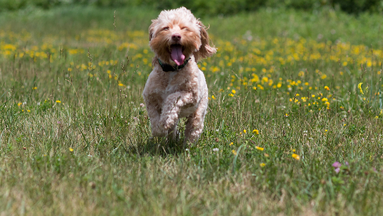 Cute blond cockapoo puppy running in summer wildflower meadow.