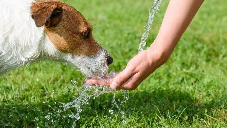 Jack Russell Terrier drinking water