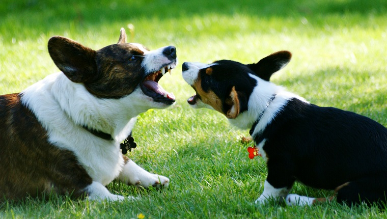 Side View Of Two Dogs Barking While Sitting On Field
