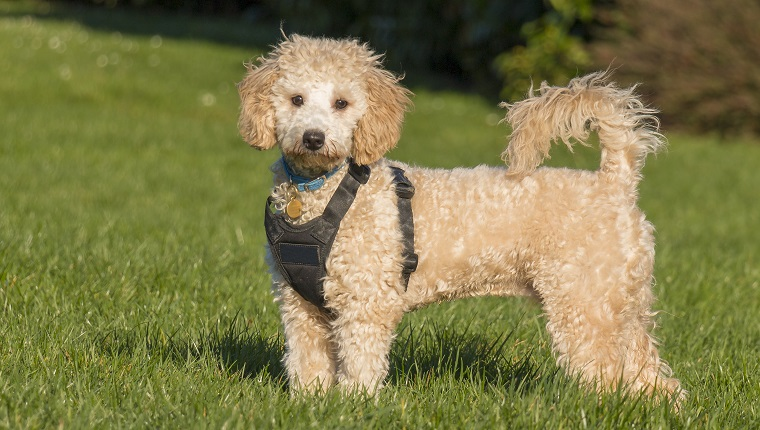 Poochon Mixed Dog Breed Pictures Characteristics Facts