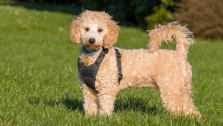 Poochon Mixed Dog Breed Pictures, Characteristics, & Facts