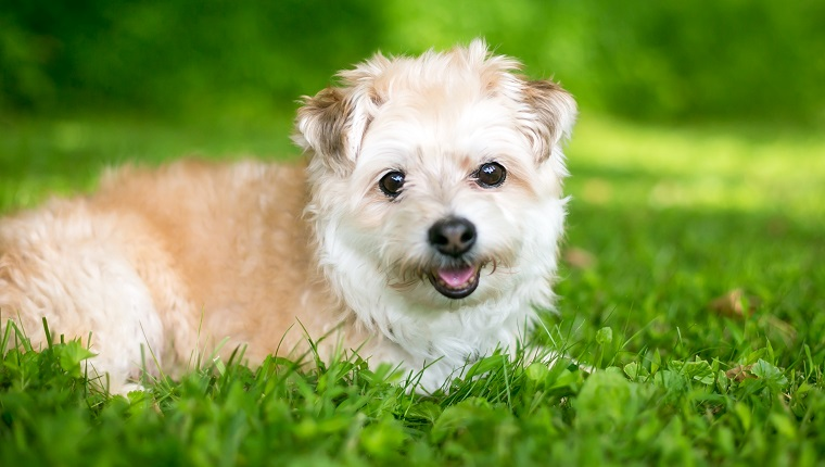 Pomapoo Mixed Dog Breed Pictures Characteristics Facts