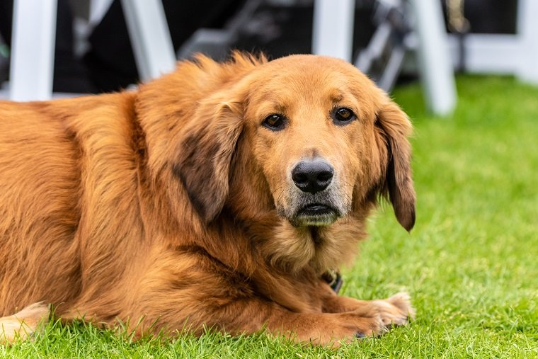 Patient mixed breed Golden Retriever and Basset Hound dog resting on park grass with adorable expression on furry face.