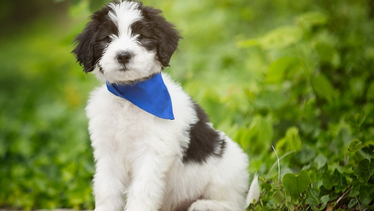 Sheepadoodle Mixed Dog Breed Pictures Characteristics Facts