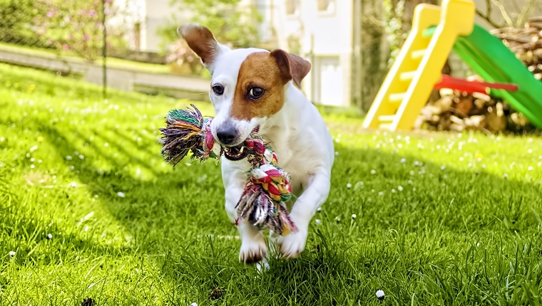 Jack RussellTerrier running in the garden with a toy in her mouth.