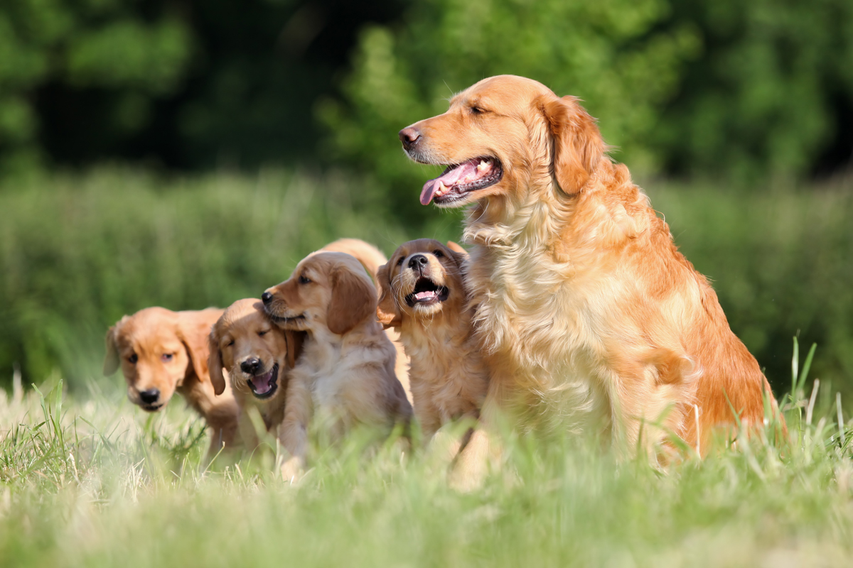 25 Cute Mama Dogs And Their Puppies For Mother's Day [PICS ... American Water Spaniel Dogtime