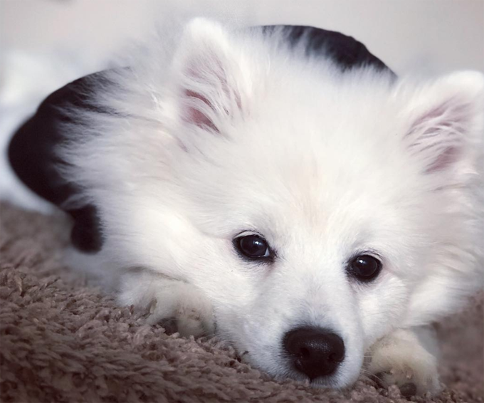 30 Excellent American Eskimo Dog Names [PICTURES] - Dogtime