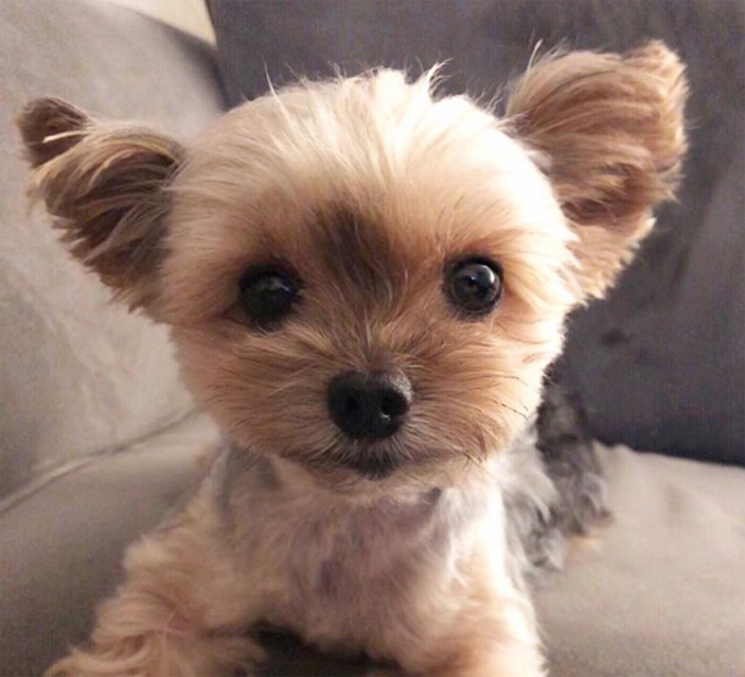 The Best Names For Yorkie Dogs Plus Adorable Pics Gallery Dogtime