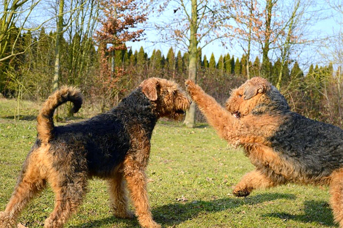 airedale terrier dog breed information pictures characteristics