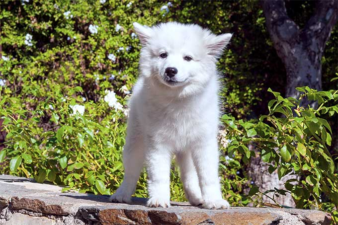 American Eskimo Dog Breed Information Pictures Characteristics