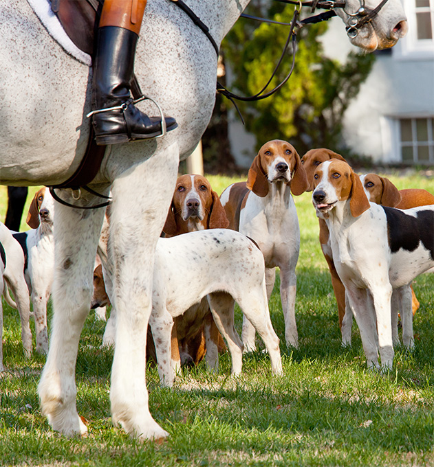American Foxhound Dog Breed Picture