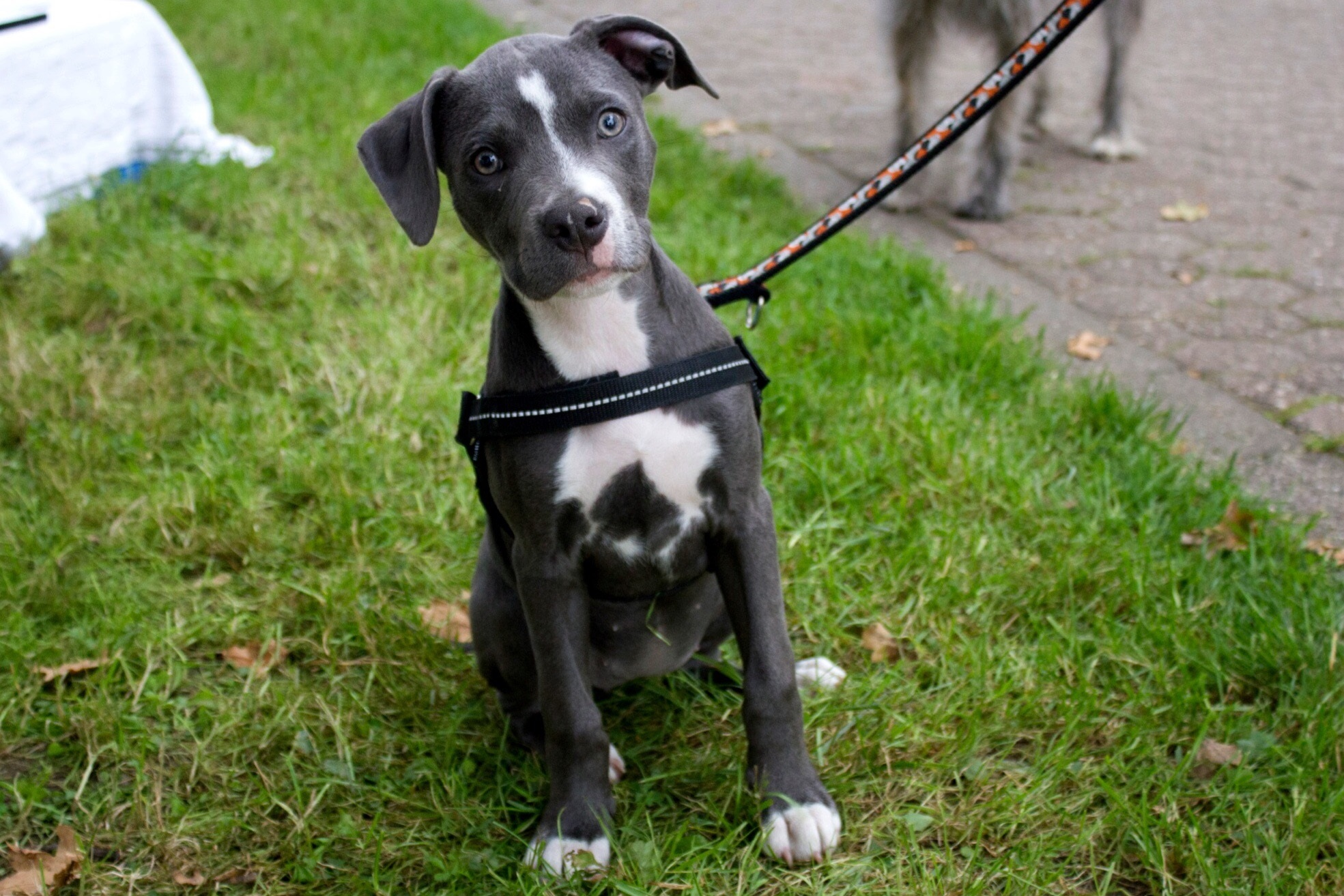 American Staffordshire Terrier Breed Information Pictures Dogtime