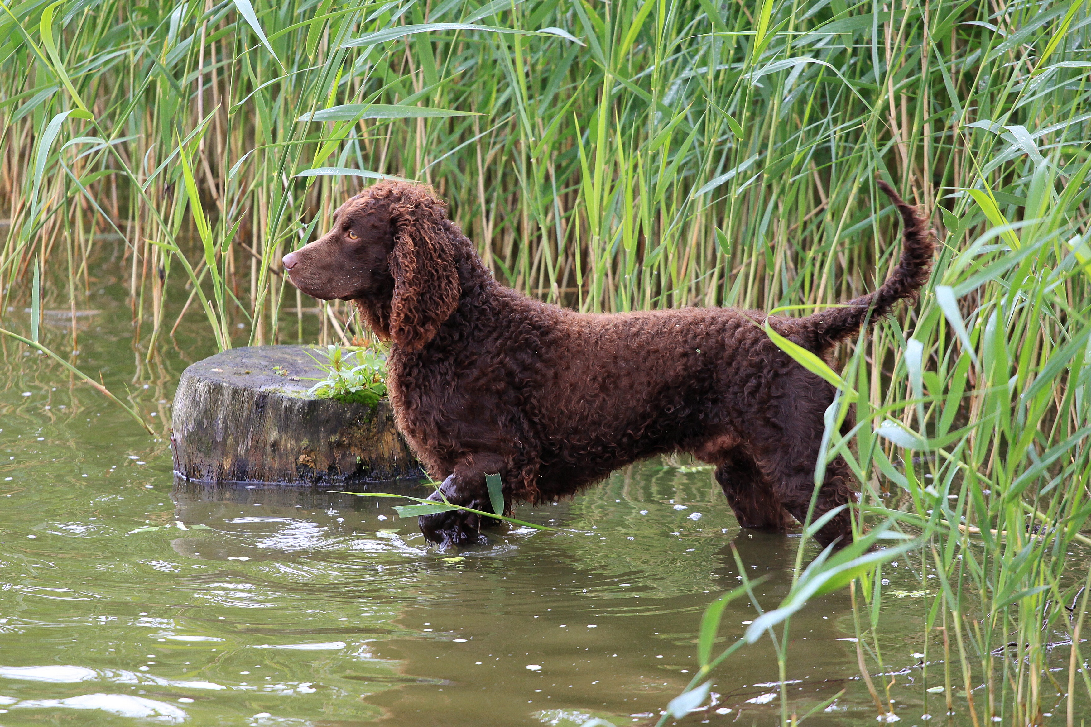 American Water Spaniel Dog Breed Pictures