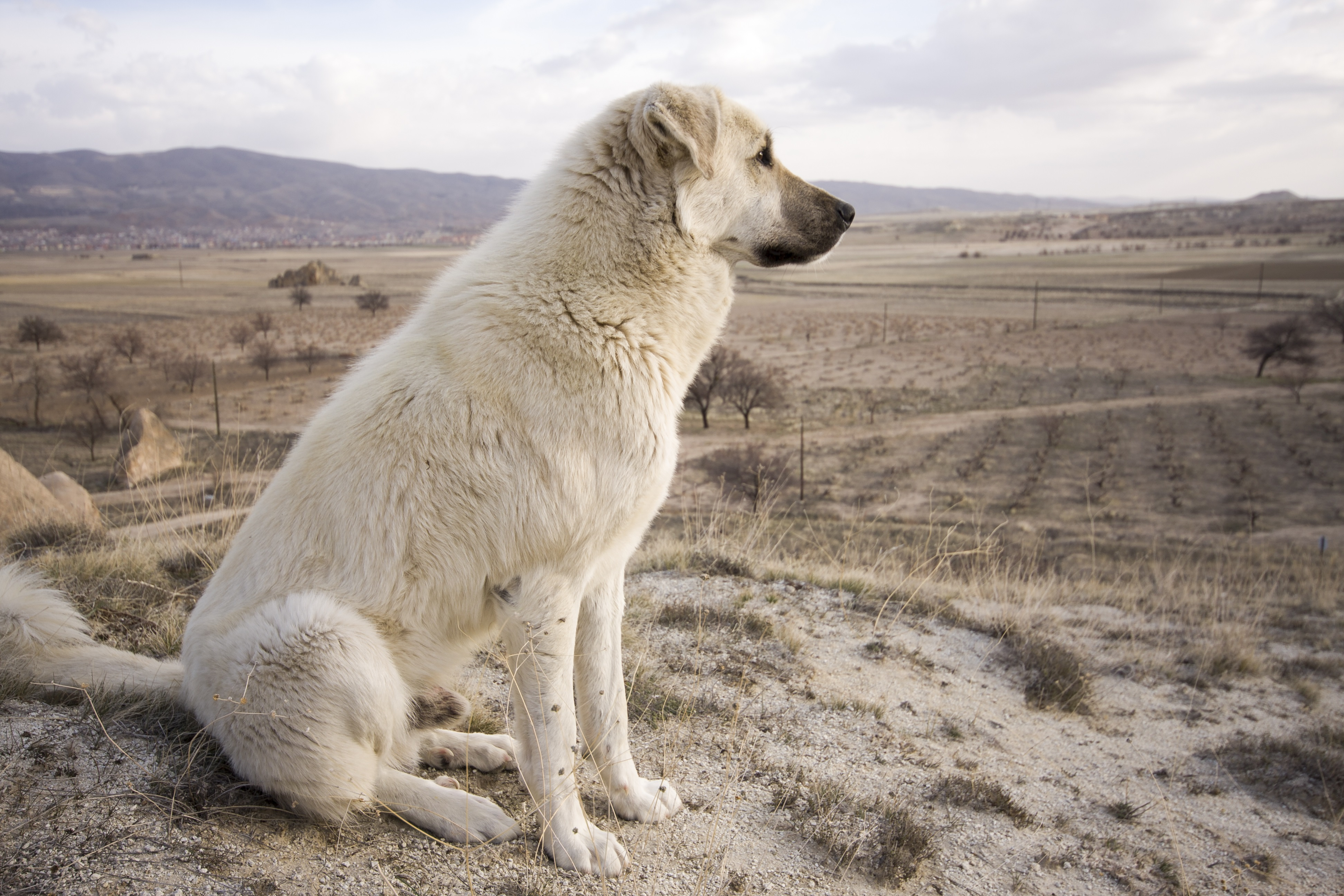 Anatolian Shepherd Dog Breed Pictures
