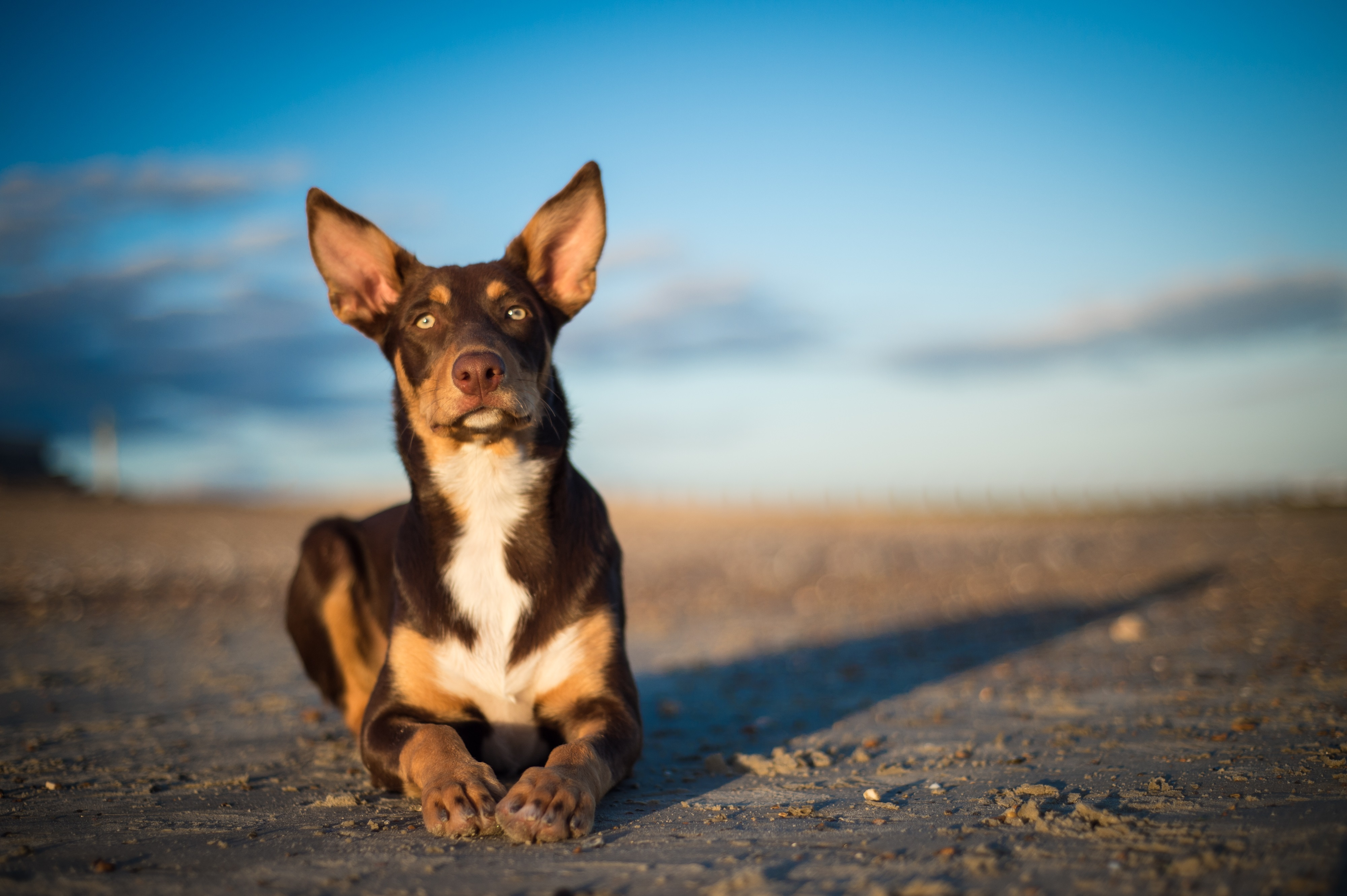 Australian Kelpie Dog Breed Information & Pictures – Dogtime