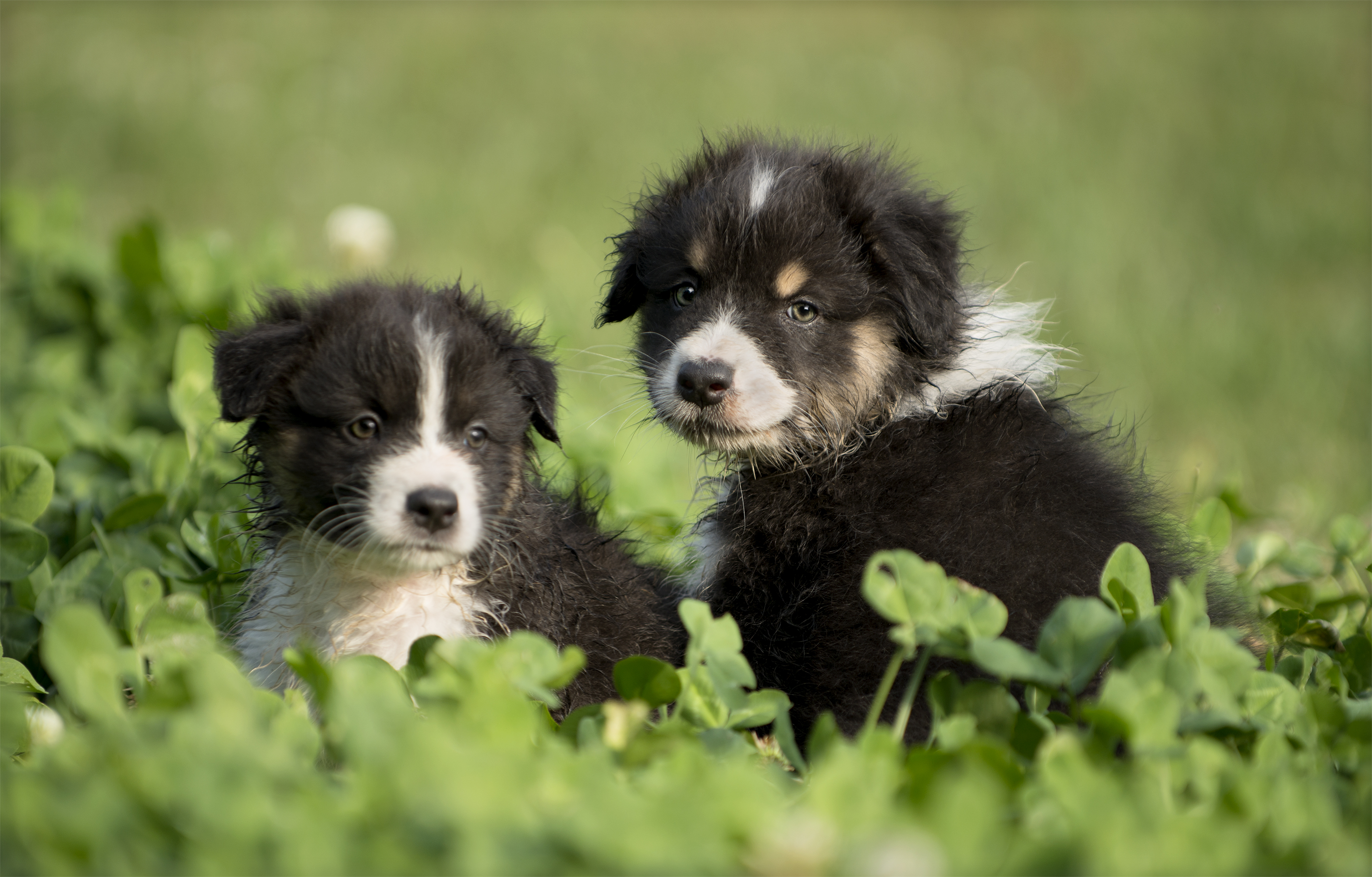 Pictures Of Australian Shepherd Puppies