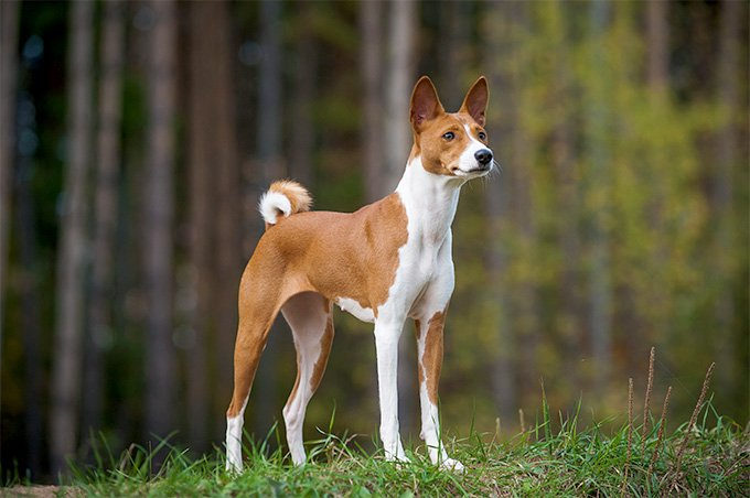 Basenji Dog Breed Picture