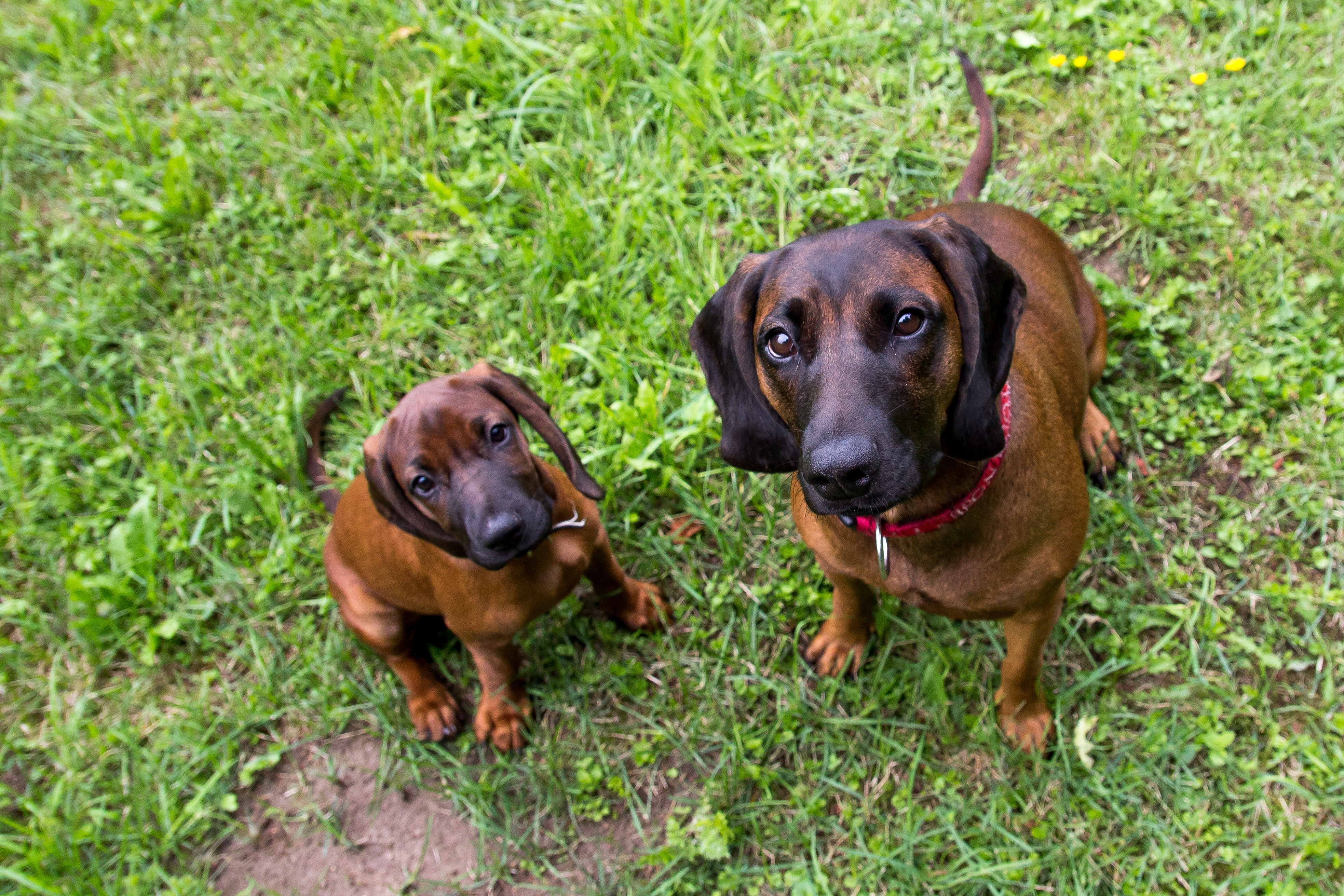 Bavarian Mountain Scent Hound Dog Breed Pictures