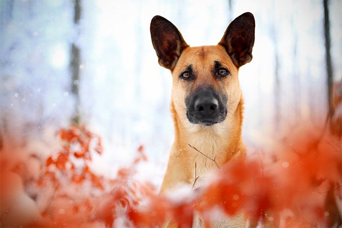 Belgian Malinois Dog Breed Information, Pictures