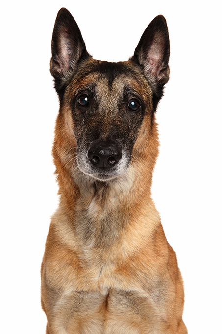 belgian malinois dog breed information  pictures  characteristics  u0026 facts  u2013 dogtime