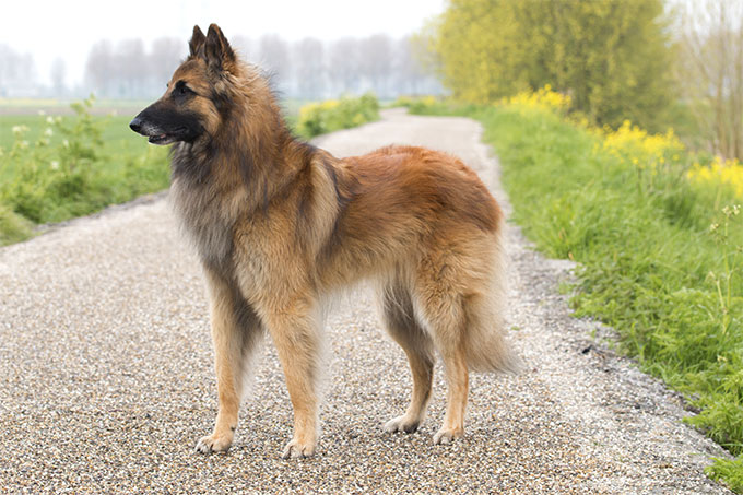 Belgian Tervuren Dog Breed Picture