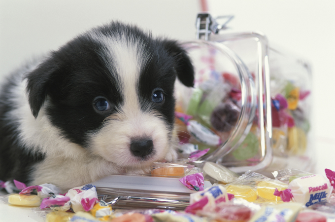 Good Bernese Mountain Dog Chubby Adorable Dog - bernese-dogs-puppies-10  Snapshot_676817  .jpg