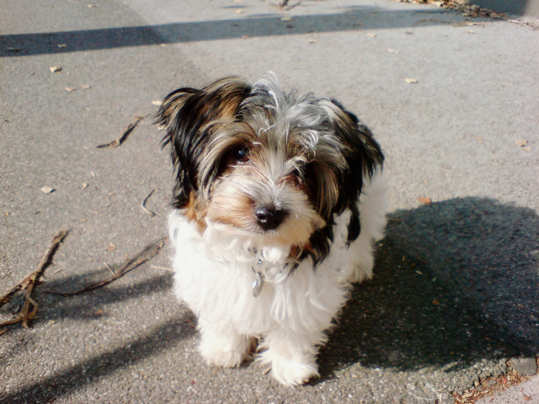 Biewer Terrier Dog Breed Pictures