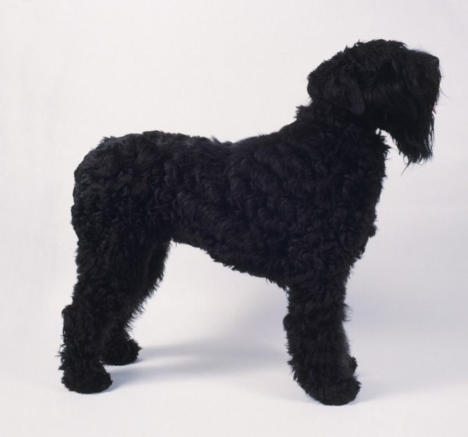 black russian terrier dog breed information  pictures  characteristics  u0026 facts