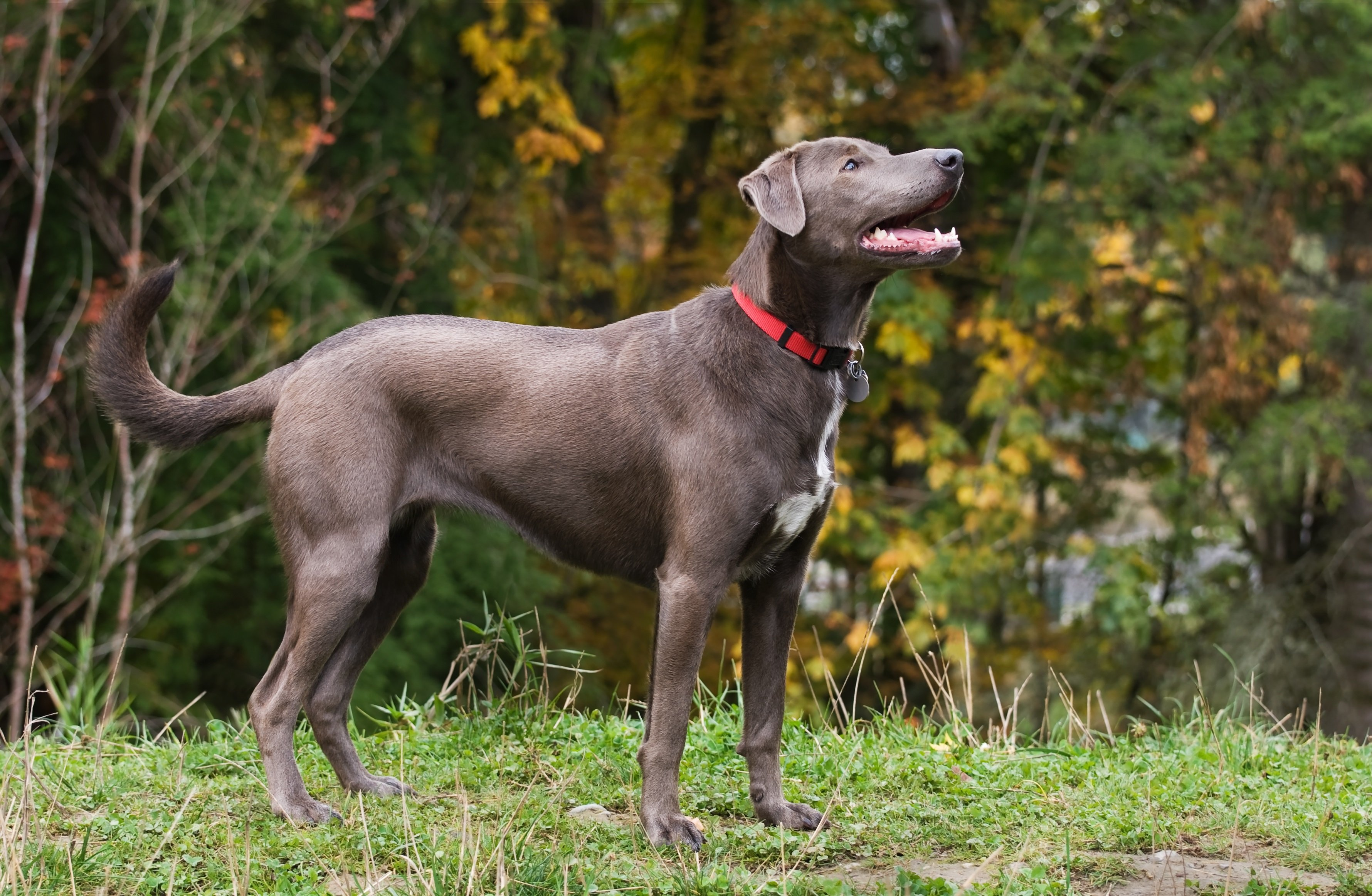 Blue Lacy Dog Breed Information & Pictures – Dogtime