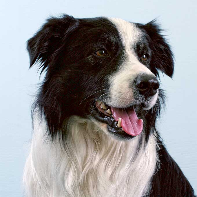 Border Collie Dog Breed Information Pictures Characteristics