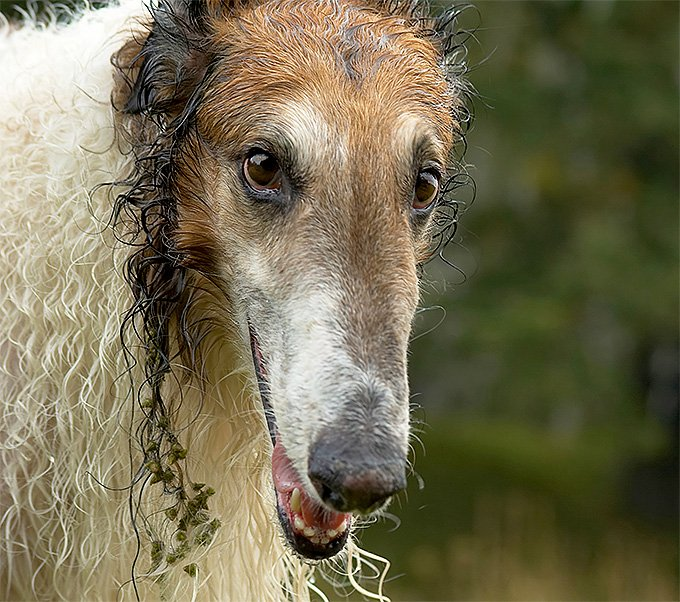 Borzoi Dog Breed Picture