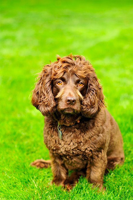 boykin spaniel dog breed information  pictures  characteristics  u0026 facts  u2013 dogtime