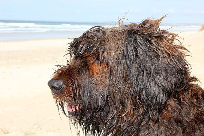 Briard Dog Breed Picture