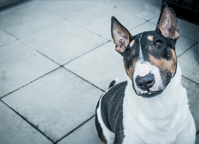 Bull Terrier Dog Breed Information, Pictures