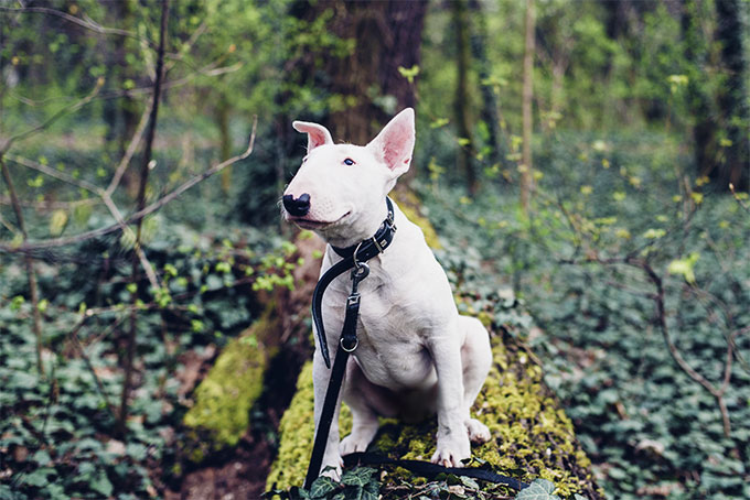 Bull Terier Dog Breed Picture