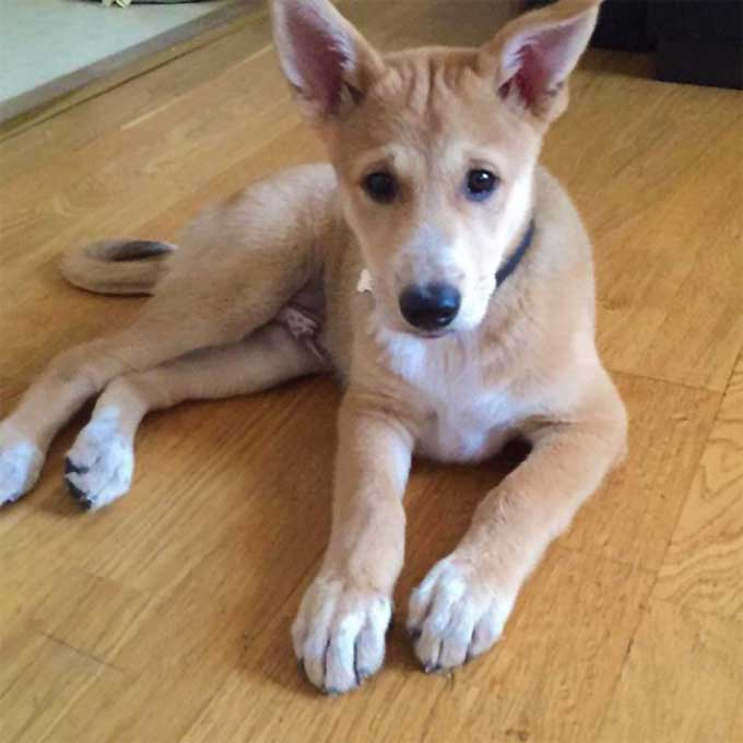 Canaan Dog Breed Information, Pictures, Characteristics & Facts ...