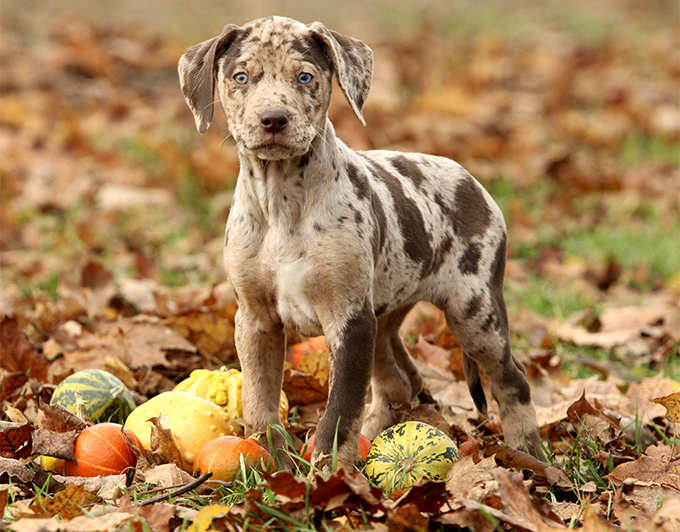 Catahoula Leopard Dog Breed Information Pictures Characteristics