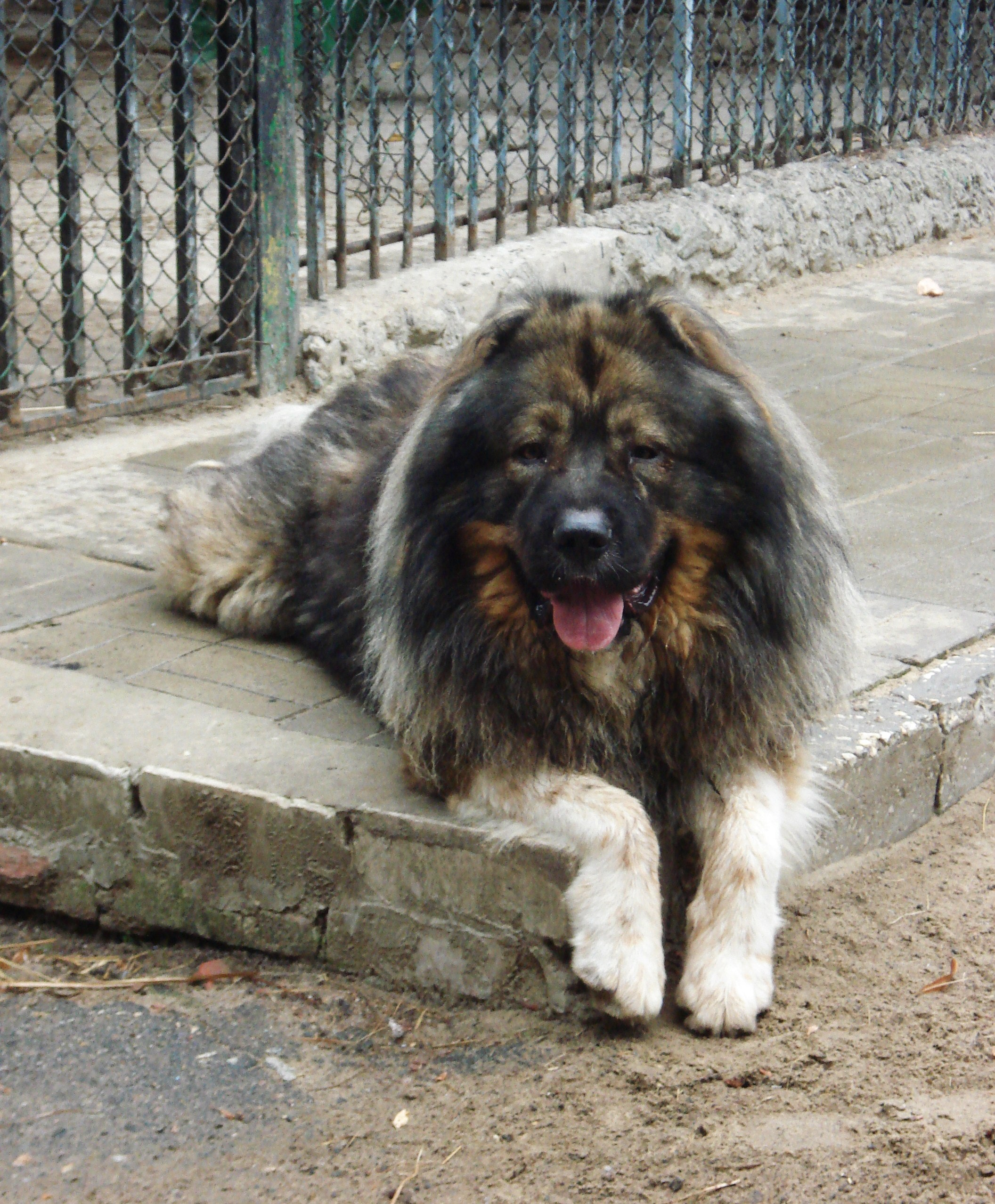 Caucasian Shepherd Dog Breed Information Amp Pictures