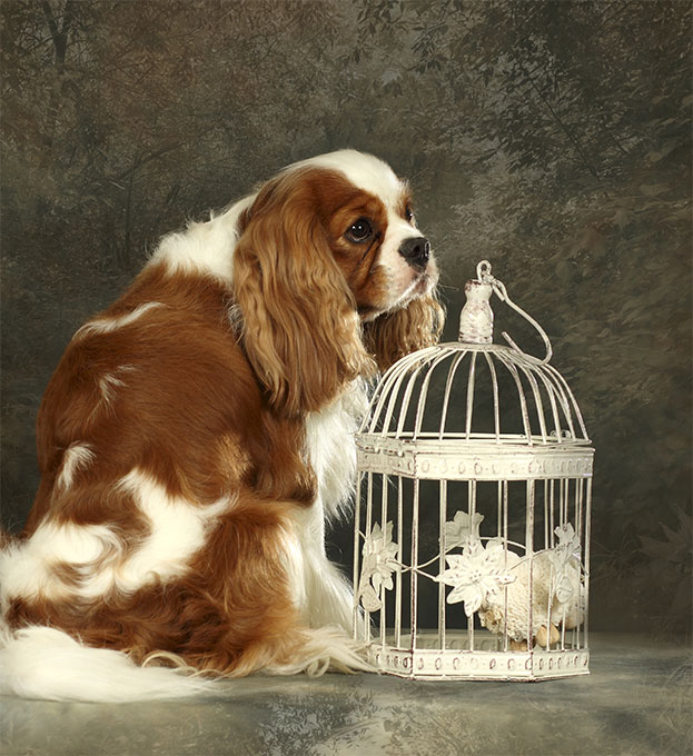 Cavalier King Charles Spaniel Dog Breed Picture