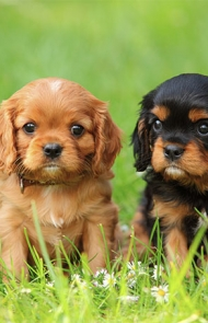 Cavalier king charles spaniel dog breed information pictures cavalier king charles spaniel dog breed picture altavistaventures Images