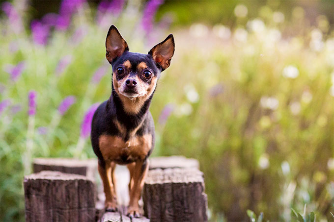 chihuahua dog breeder what dog breed you should adopt based on your zodiac sign 6678