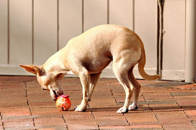 Chihuahua Dog Breed Picture